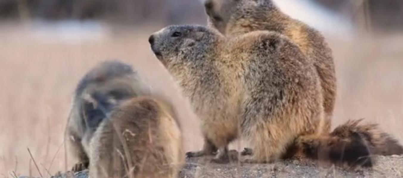 Les Films Lapied 'Le clan des marmottes'