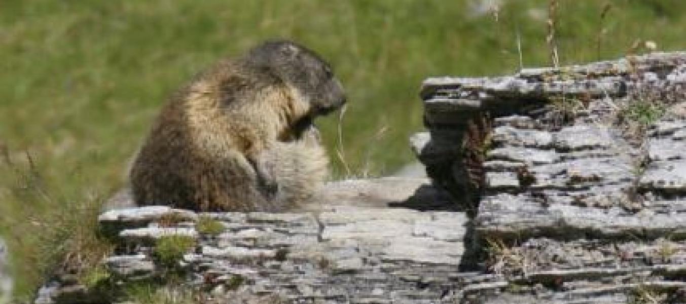 La famille marmotte